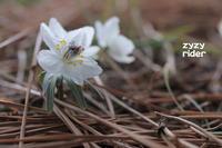 春を呼ぶ花(その1) - ジージーライダーの自然彩彩