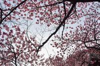 品川宿元総鎮守 荏原神社の寒緋桜 - 素顔のままで