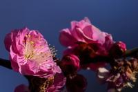 梅の花...咲く - 鈴木 陽一の「ようさんぽ」写真館