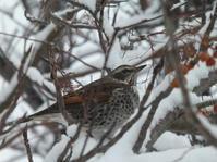 さっぽろ雪まつり会場の近くの樹でツグミさんを見ました。 - ヒロムシ君のお散歩日記