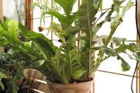 Aglaomorpha heraclea - PlantsCade -2nd effort