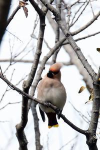 連雀 - 比企丘陵の自然