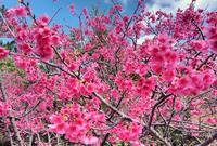 寒緋桜 - color code