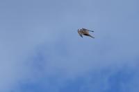 ハヤブサ 02月12日 - 旧サンヨン野鳥撮影放浪記