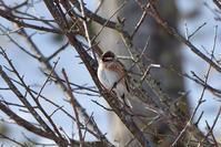 シラガホオジロ(Pine Bunting)/2018.02 - Birding  in  Japan!