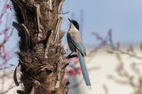 シュロの木に来たオナガ - あだっちゃんの花鳥風月