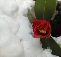 雪を生ける… - 侘助つれづれ