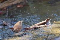 羽虫を狙うミソサザイ - 上州自然散策2