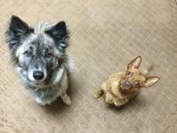 バレンタインにいってきまーす - 琉球犬mix白トゥラーのピカ