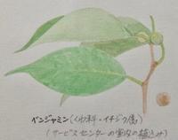 #植物スケッチ 『ベンジャミン』 和名:シダレガジュマル - スケッチ感察ノート