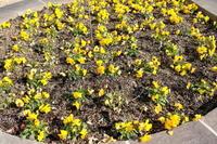 花壇の黄色いパンジー - 平凡な日々の中で