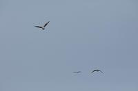 池の鳥~ミサゴ、カワセミなど - チョウ!お気に入り