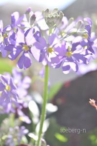 プリムラ マコイデス 湖畔の夢 - 小さな庭 2
