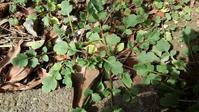早くもナガミヒナゲシ - うちの庭の備忘録 green's garden