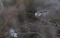 エナガ・・・寒いところの小鳥さんはまんまるです! - 赤いガーベラつれづれの記