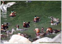 オシドリ 仲間がいっぱい - 野鳥の素顔 <野鳥と・・・他、日々の出来事>