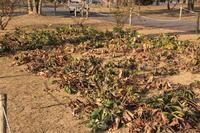 クリスマスローズ@敷島公園 (撮影日:2018/2/15) - toshiさんのお気楽ブログ