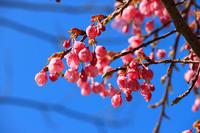 緋寒桜。 - 青い海と空を追いかけて。