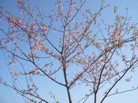 河津桜まつり - 白壁荘だより  天城百話