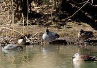 ヨシガモの楽園 - 鳥見って・・・大人のポケモン