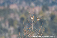 雪原の小鳥達 - 気ままに野鳥観察