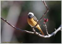 梅ジョビ チョッと淋しい - 野鳥の素顔 <野鳥と・・・他、日々の出来事>