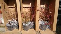 ブルーベリー3年生苗の追加購入と仮植 in 広島市 - 初めてのブルーベリー栽培記