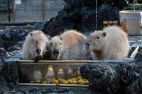 カピバラ温泉スタート!(埼玉県こども動物自然公園) - 続々・動物園ありマス。