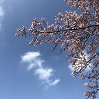 寒桜満開 - 心のカメラ / more tomorrow than today ...