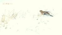 シラガホオジロ - 北の野鳥たち