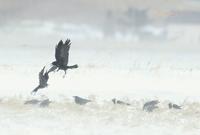 ミヤマガラス - 北の野鳥たち