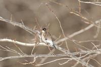 ウソ - ひとり野鳥の会