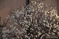 陽当たりのいい場所で梅の花が良い香り~(^^♪ - 自然のキャンバス