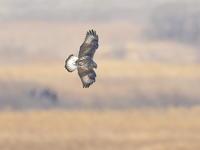 初見初撮りケアシノスリ - 『彩の国ピンボケ野鳥写真館』