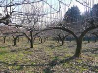 熊本梨本藤果樹園無しが育つ最高のステージを作り上げるための、秋の枝抜き作業と冬の剪定と誘引作業 - FLCパートナーズストア