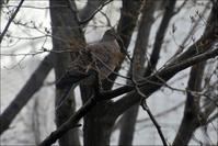 借景の木にキジバトがやってきました - 生きる歓び Plaisir de Vivre。人生はつらし、されど愉しく美しく