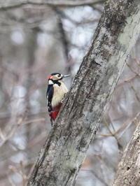 峠のアカゲラ - コーヒー党の野鳥と自然 パート2