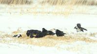 コクマルガラス - 北の野鳥たち