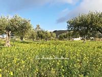 冬のオリーブ畑を散策♪ 〜オリーブ農園日記 vol.29〜 - La Tavola Siciliana  ~美味しい&幸せなシチリアの食卓~