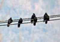 ・ミヤマガラス - 鳥見撮り