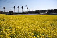 菜の花 - hanako photograph