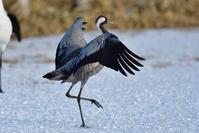 クロヅル(Common crane)/2018.02 - Birding  in  Japan!