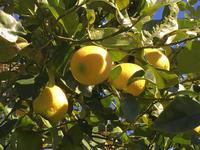 リモンチェッロと檸檬の木 - もりともバリバリ