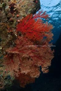 うちわ - Diving Life ~Aita pe'a pe'a~