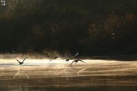 コハクチョウの飛び立ち(過去画像から) - 野鳥公園