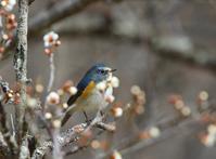 梅花の中で、、 - ぶらり探鳥