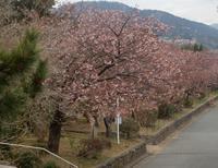 今日の河津桜2/20 - 白壁荘だより  天城百話