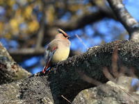 ヒレンジャク - 『彩の国ピンボケ野鳥写真館』