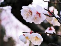 少し前に見た梅の花 - 日々の写真