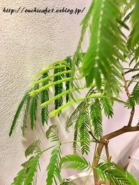 【インテリア】春へ向けてすこしづつグリーン色々変化!?&ヒヤシンスの水耕栽培のゆくえ。 - 10年後も好きな家